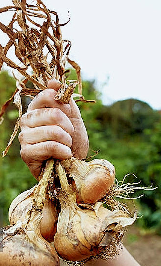 Masculine hand holding dried onion bunch by the stalks