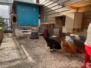 Les poules sont de retour de vacances !