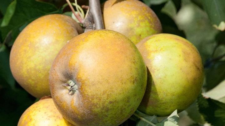 Pomme Sainte-Germaine