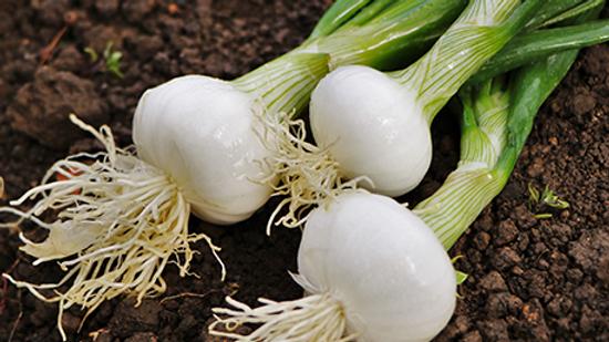 Oignons Blancs Frais Bio la botte