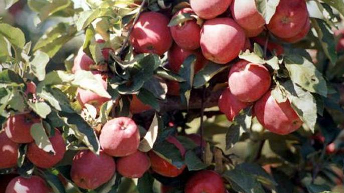Pomme Starkrimson (rouge)
