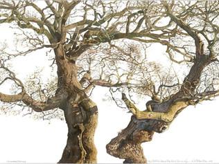 The Old Oak, Ross on Wye