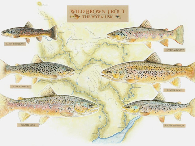 Wild Brown Trout of Rivers Wye & Usk