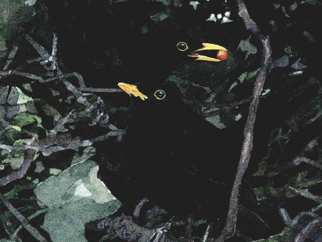 Blackbirds in the Hedge