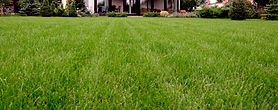 Green grass from compost topdressing