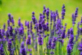 lavender-1117275_1920.jpg