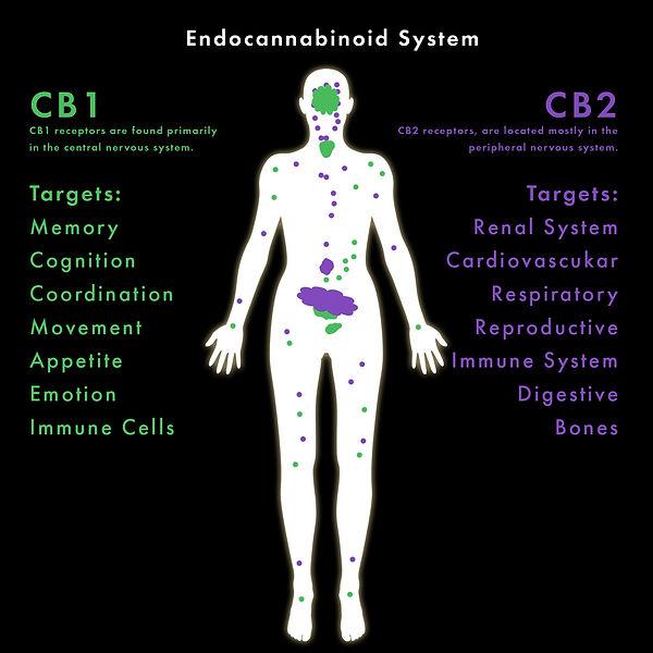 endocannabinoidsystem_.jpg