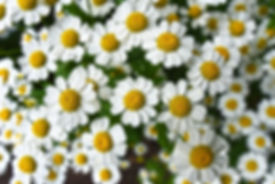 chamomile-3489847_1920.jpg