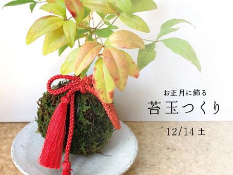 お正月に飾る苔玉つくり