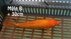 male B plus de 33cm