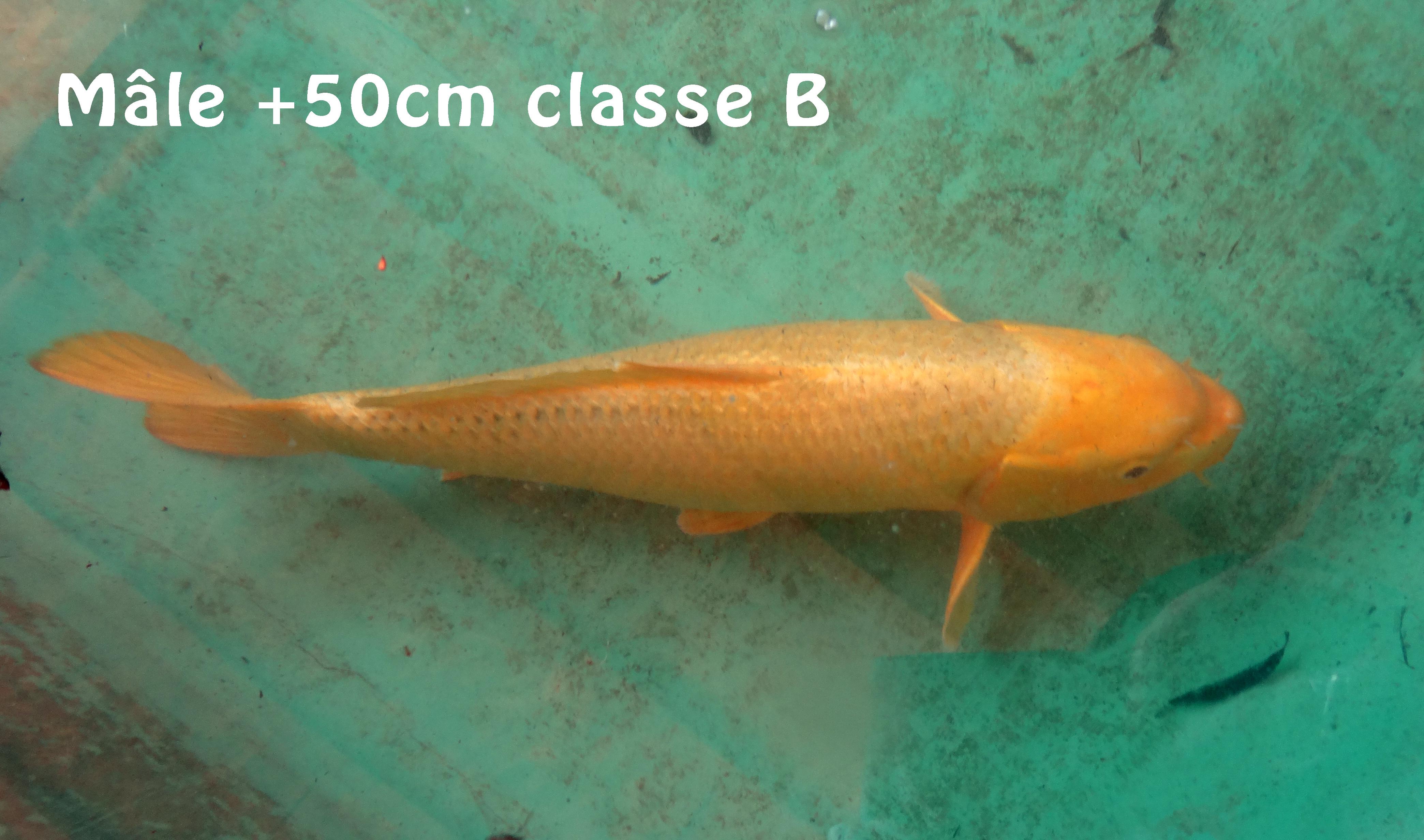 Mâle 50cm