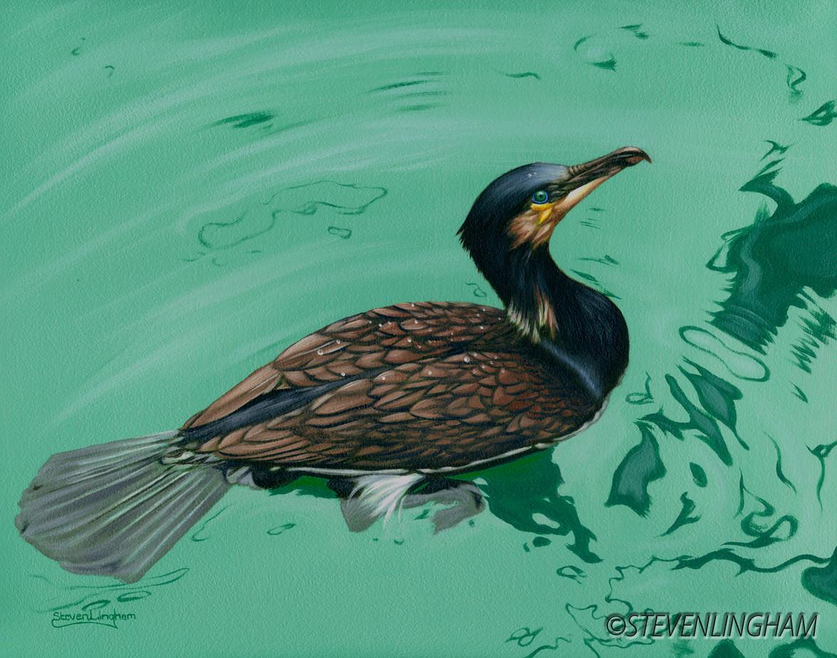 Cormorant Study