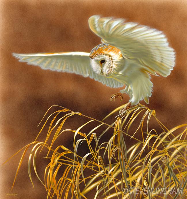 Hovering Barn Owl