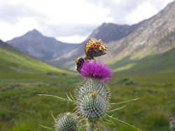 Glen Sannox bee and butterfly - listing size