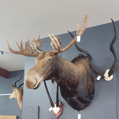 large Canadian Bull Moose shoulder mount, with 16 points