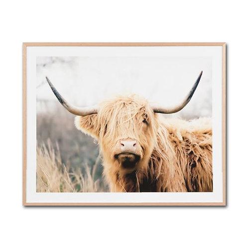 Photographic Framed Highland Cattle Print