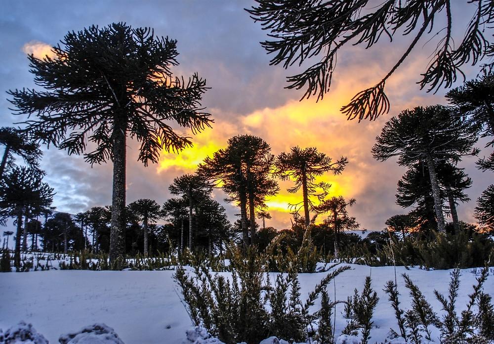 Coucher de soleil sur les Araucarias