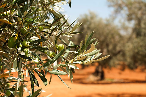 Canva - Olive Plantation and Olives on B