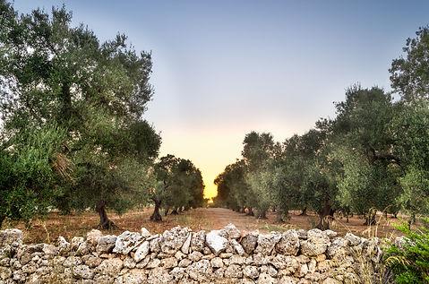 Canva - Puglia, Italy, Olive trees (1).j