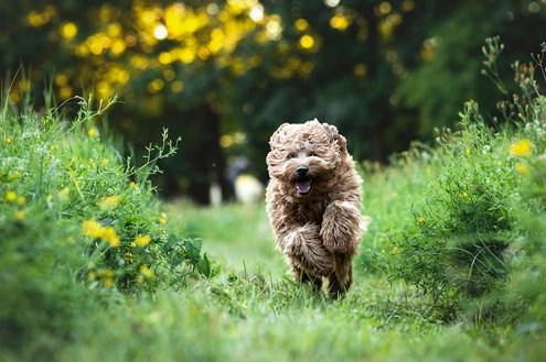 Hund, Hundeshooting, Fotoshooting Hund Hessen, Hundeshooting Frankfurt, Hund Action, Hund Portrait, Tierfotografie, Tierfotografie Hessen, Hundefotografie Bad Homburg, Labradoodle