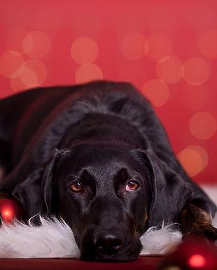 Wiehnahtsshooting Hund