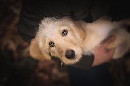 Hund, Hundeshooting, Fotoshooting Hund Hessen, Hundeshooting Frankfurt, Hund Action, Hund Portrait, Tierfotografie, Tierfotografie Hessen, Hundefotografie Bad Homburg, Labradoodle Welpe