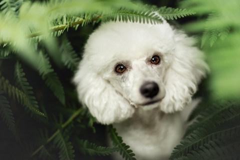 Hund, Hundeshooting, Fotoshooting Hund Hessen, Hundeshooting Frankfurt, Hund Action, Hund Portrait, Tierfotografie, Tierfotografie Hessen, Hundefotografie Bad Homburg, Tierfotografie Bad Homburg, Pudel weiß