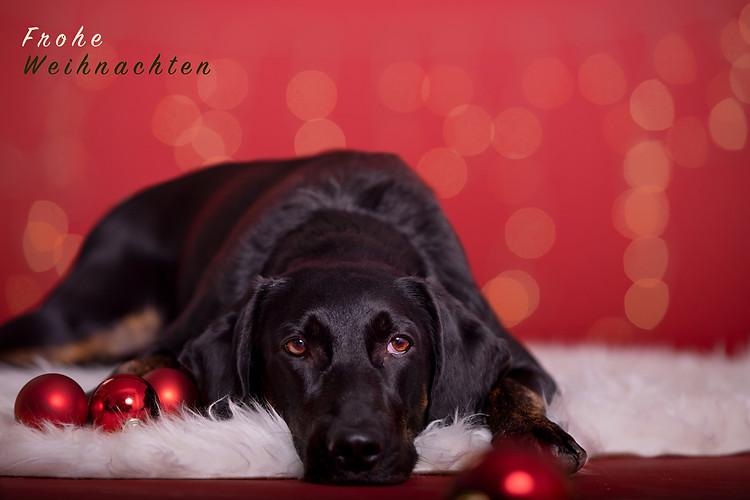 Weihnachten Hundeshooting