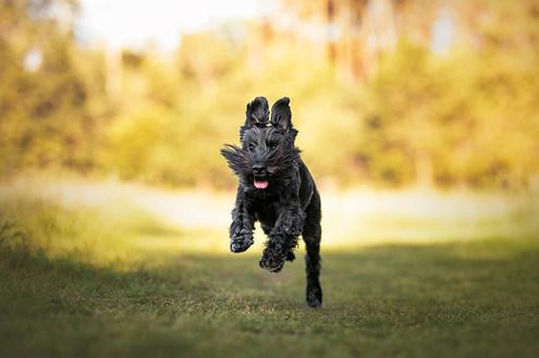 Hund, Hundeshooting, Fotoshooting Hund Hessen, Hundeshooting Frankfurt, Hund Action, Hund Portrait, Tierfotografie, Tierfotografie Hessen, Hundefotografie Bad Homburg, Schnauzer