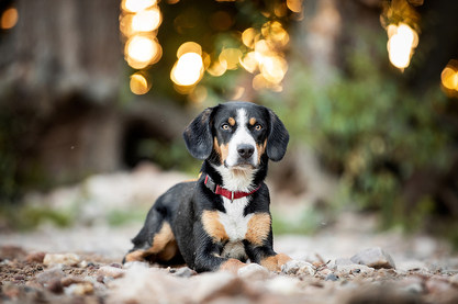 Hund, Hundeshooting, Fotoshooting Hund Hessen, Hundeshooting Frankfurt, Hund Action, Hund Portrait, Tierfotografie, Tierfotografie Hessen, Hundefotografie Bad Homburg, Appenzeller Sennenhund