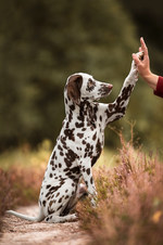 Hund, Hundeshooting, Fotoshooting Hund Hessen, Hundeshooting Frankfurt, Hund Action, Hund Portrait, Tierfotografie, Tierfotografie Hessen, Hundefotografie Bad Homburg, Dalmatiner