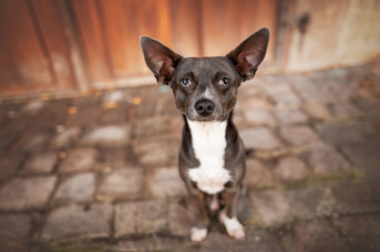 Hund, Hundeshooting, Fotoshooting Hund Hessen, Hundeshooting Frankfurt, Hund Action, Hund Portrait, Tierfotografie, Tierfotografie Hessen, Hundefotografie Bad Homburg, Zwergpinscher