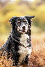 Hund, Hundeshooting, Fotoshooting Hund Hessen, Hundeshooting Frankfurt, Hund Action, Hund Portrait, Tierfotografie, Tierfotografie Hessen, Hundefotografie Bad Homburg, Australian Shephard