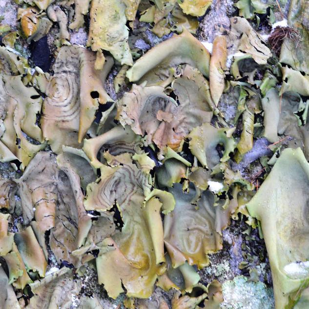 Lichens Foliose