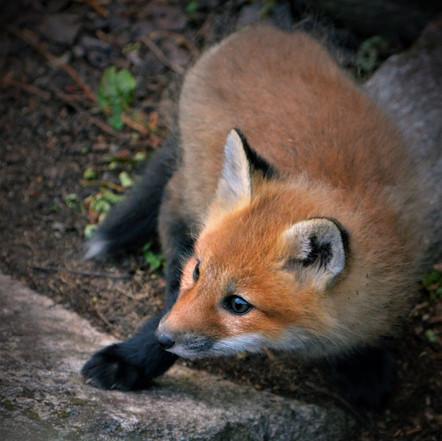 Fox pup