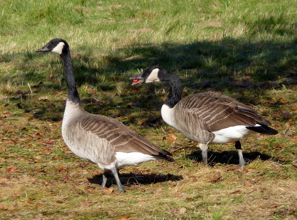 In One End, Out the Other: Geese Excel at Turning Grass & Crabapples into Poop