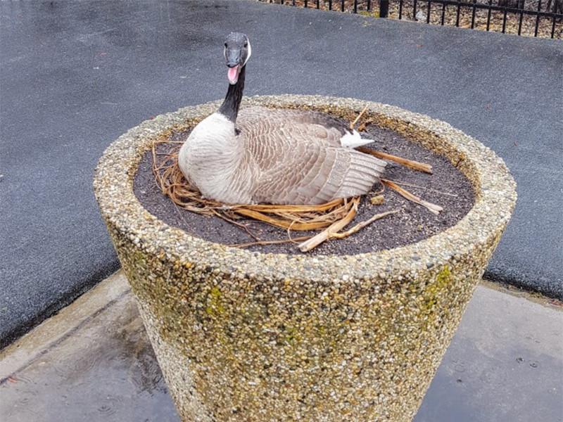 Goose Nest Management: Planter