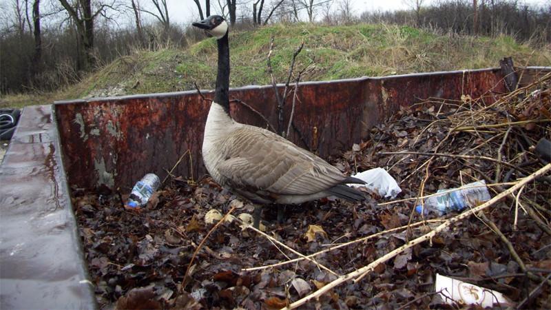 Goose Nest Management: Dumpster Chic