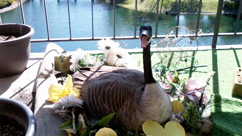 Goose Nest Management: Flower Bed