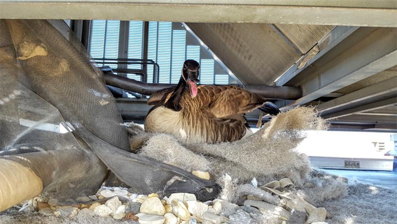Goose Nest Management: Inside a Rooftop HVAC Unit
