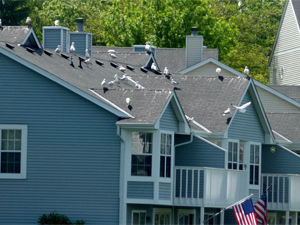 Bird, Pigeon & Gull Control: Apartments & Condos
