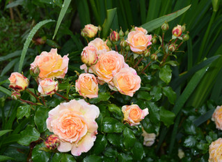 How Are Your Roses?