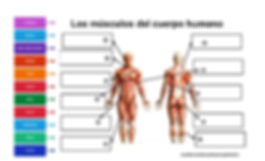 Músculos_Cuerpo_Humano_2.jpg