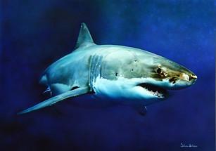 The White Shark