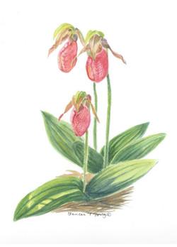 Ladyslipper / Cymprepedium acaule