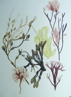 New England Seaweeds
