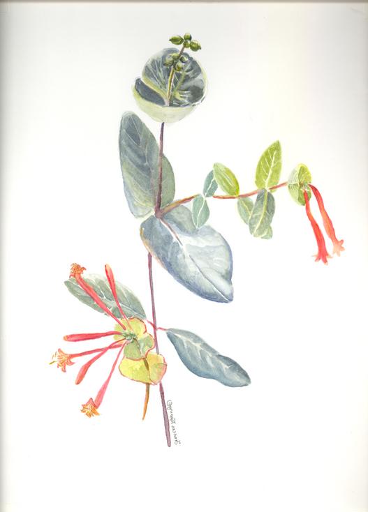 Native honeysuckle (Lonicera sempervirens)