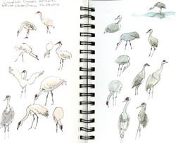 Arizona cranes