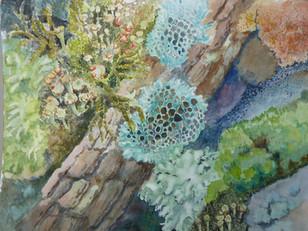 Lichen  mosaic