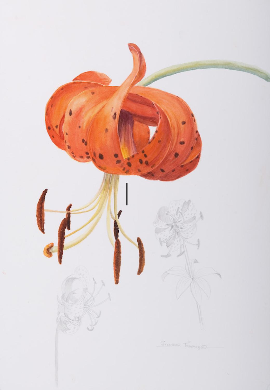 Turk's cap lily/Lilium superbum